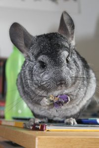 critter-nation-chinchilla-cage
