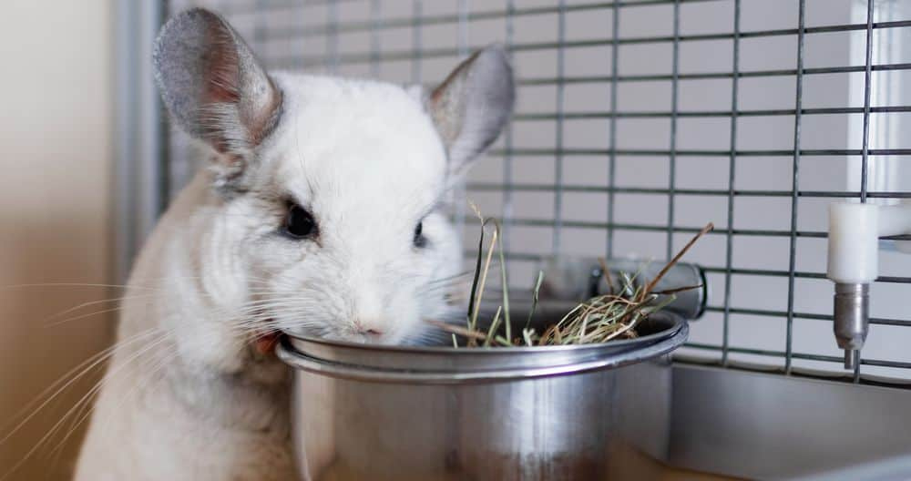 chinchilla eating hay