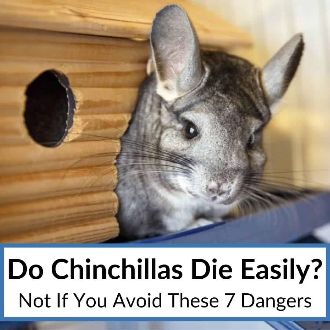 Do Chinchillas Die Easily