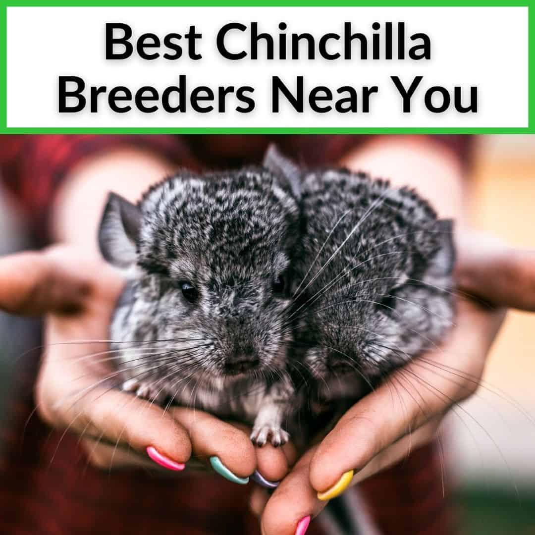 Chinchilla Breeders Near You