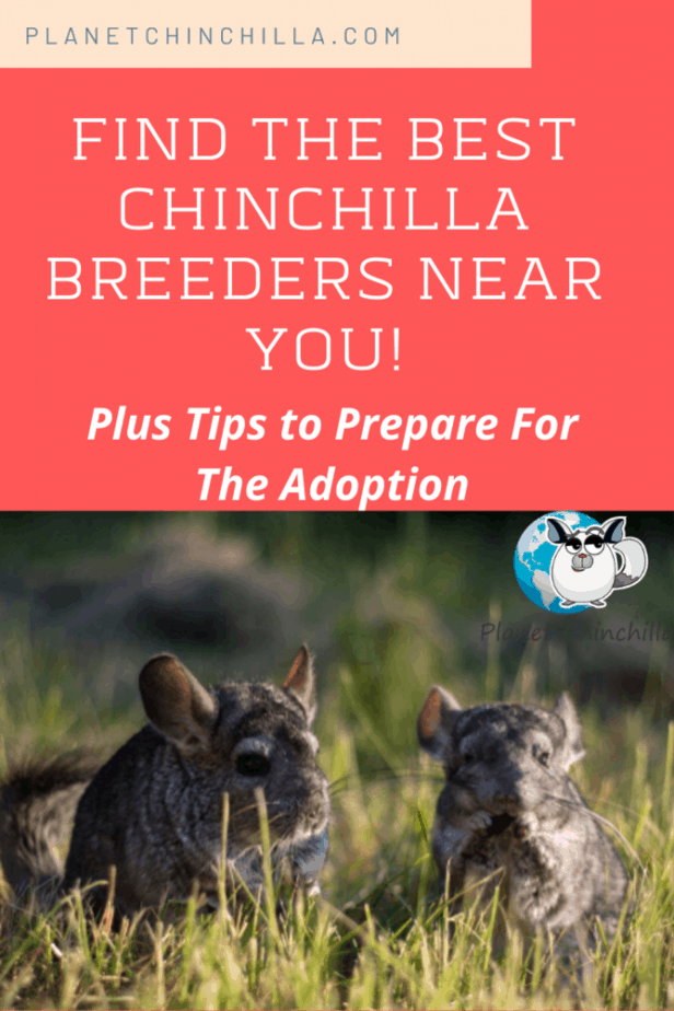 Find The Best Chinchilla Breeders Near You