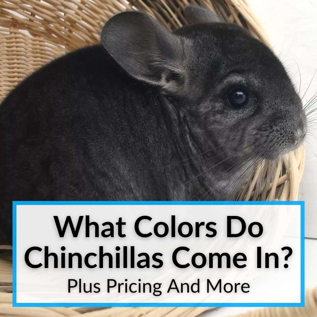 What Colors Do Chinchillas Come In