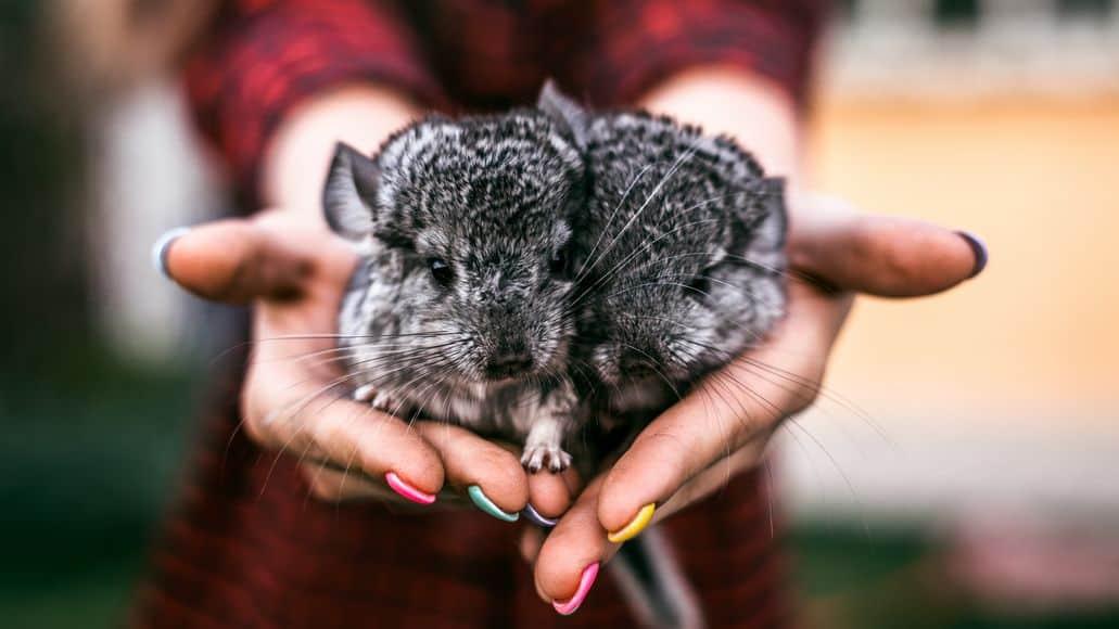 chinchilla babies