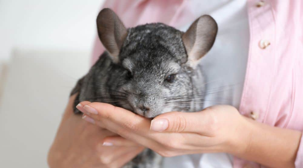 relaxed chinchilla after being held by tail