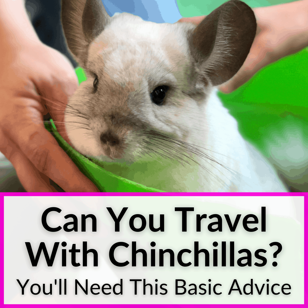 Can You Travel With Chinchillas