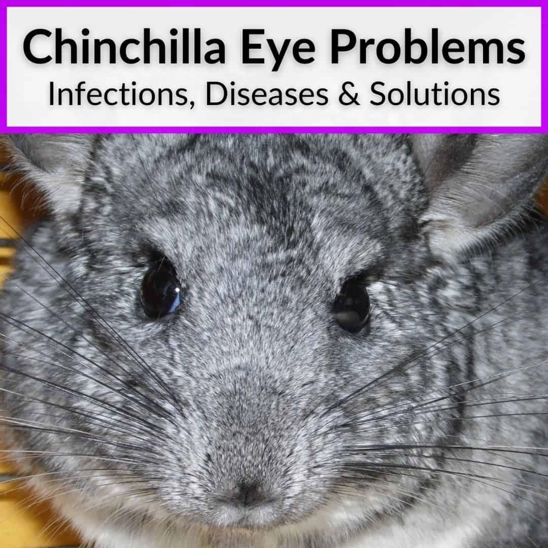 Chinchilla Eye Problems