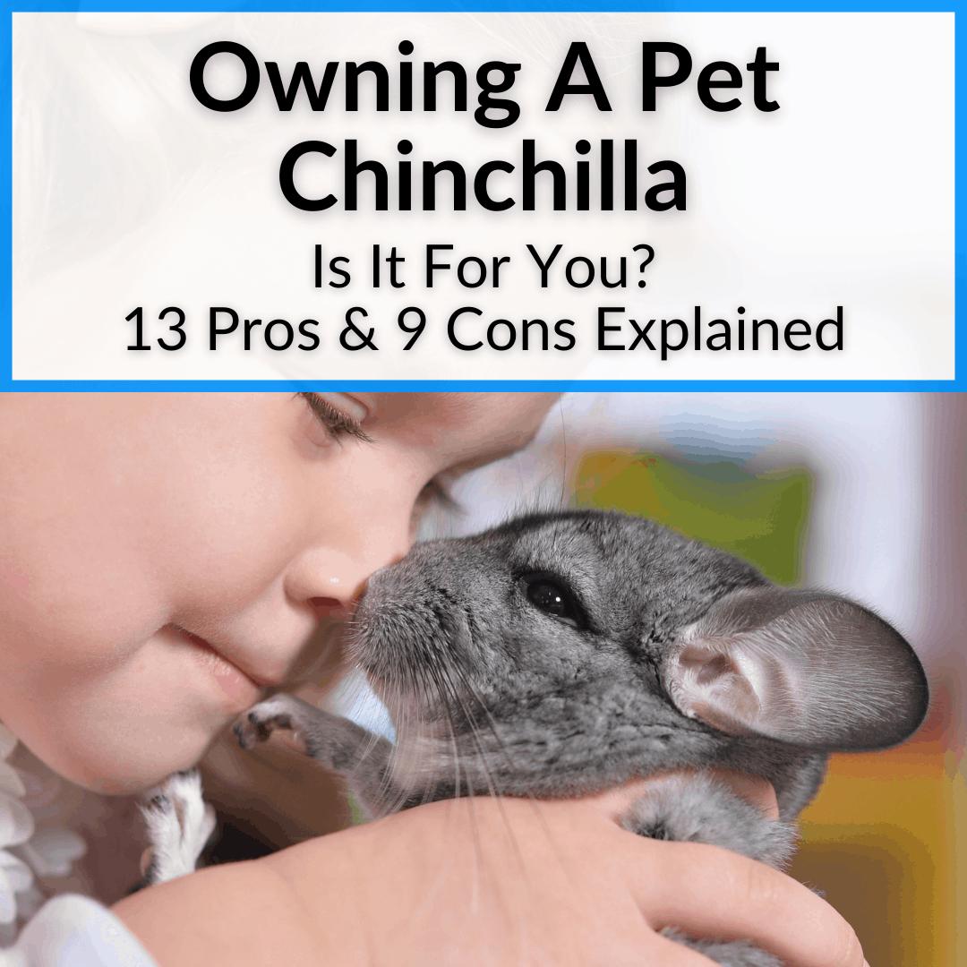 Owning A Pet Chinchilla