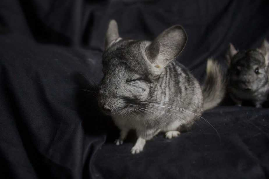 chinchilla with eyes closed