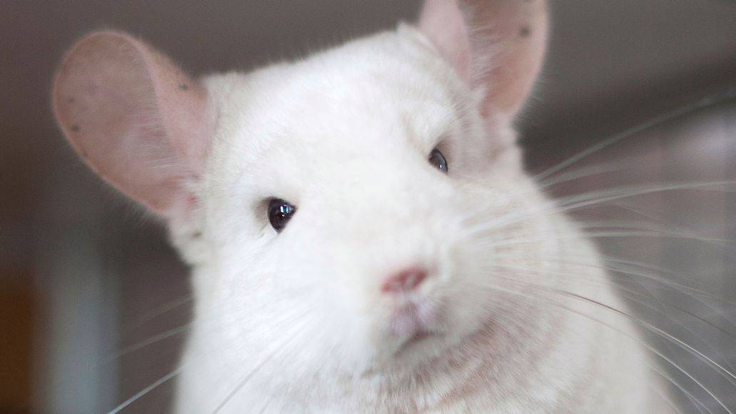 chinchilla eyes infected