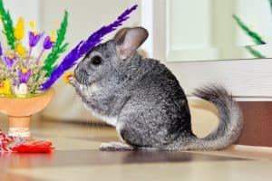 chinchillas-at-petsmart