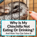 Why Is My Chinchilla Not Eating Or Drinking