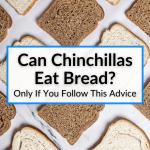 Can Chinchillas Eat Bread