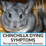 Chinchilla Dying Symptoms