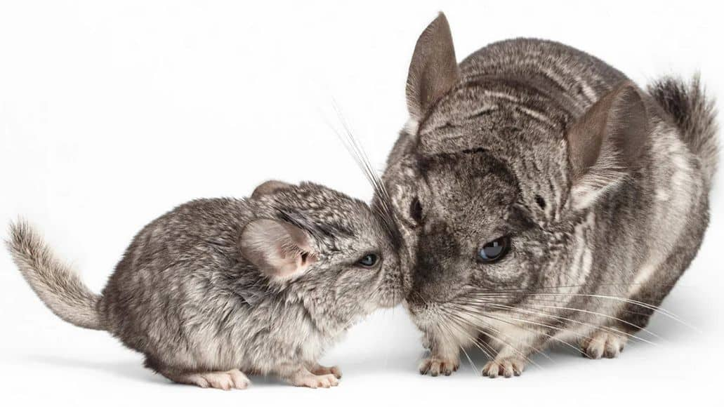 noisy mother and baby chinchilla