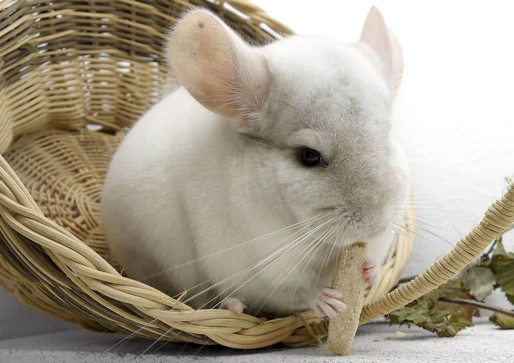 chewing toy for chinchilla