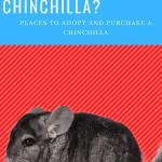 where-can-i-buy-a-chinchilla