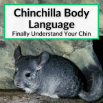 Chinchilla Body Language