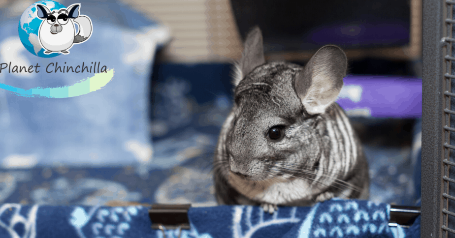 giving-a-chinchilla-a-dust-bath-guide