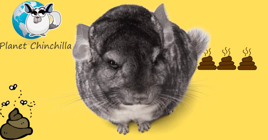 how-to-prevent-chinchilla-diarrhea