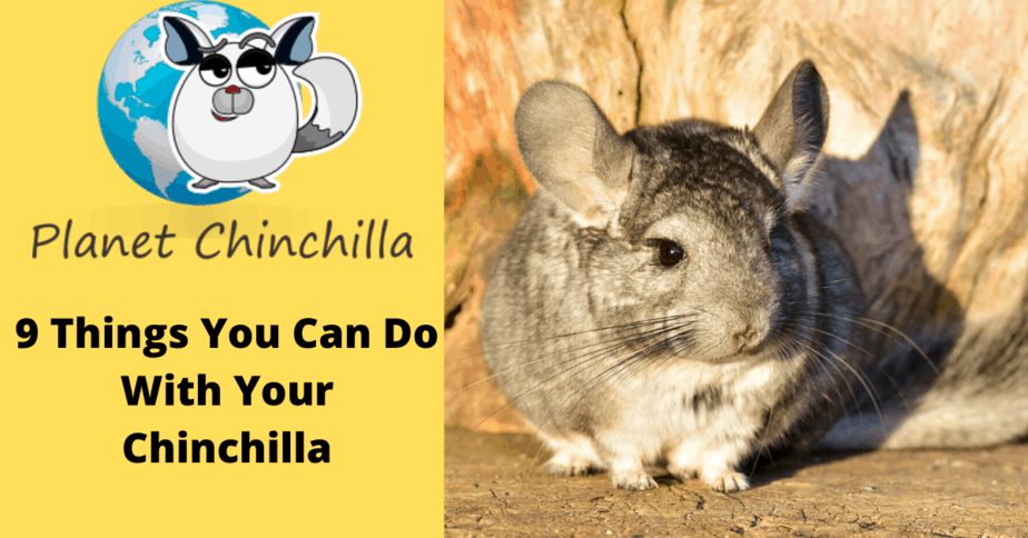 things-you-can-do-with-a-chinchilla