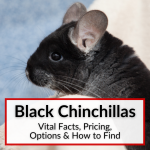 Black Chinchillas