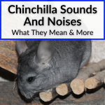 Chinchilla Sounds And Noises