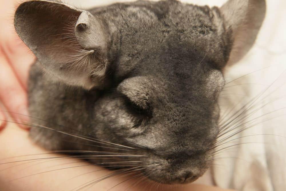 odorless chinchilla