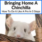 Bringing Home A Chinchilla