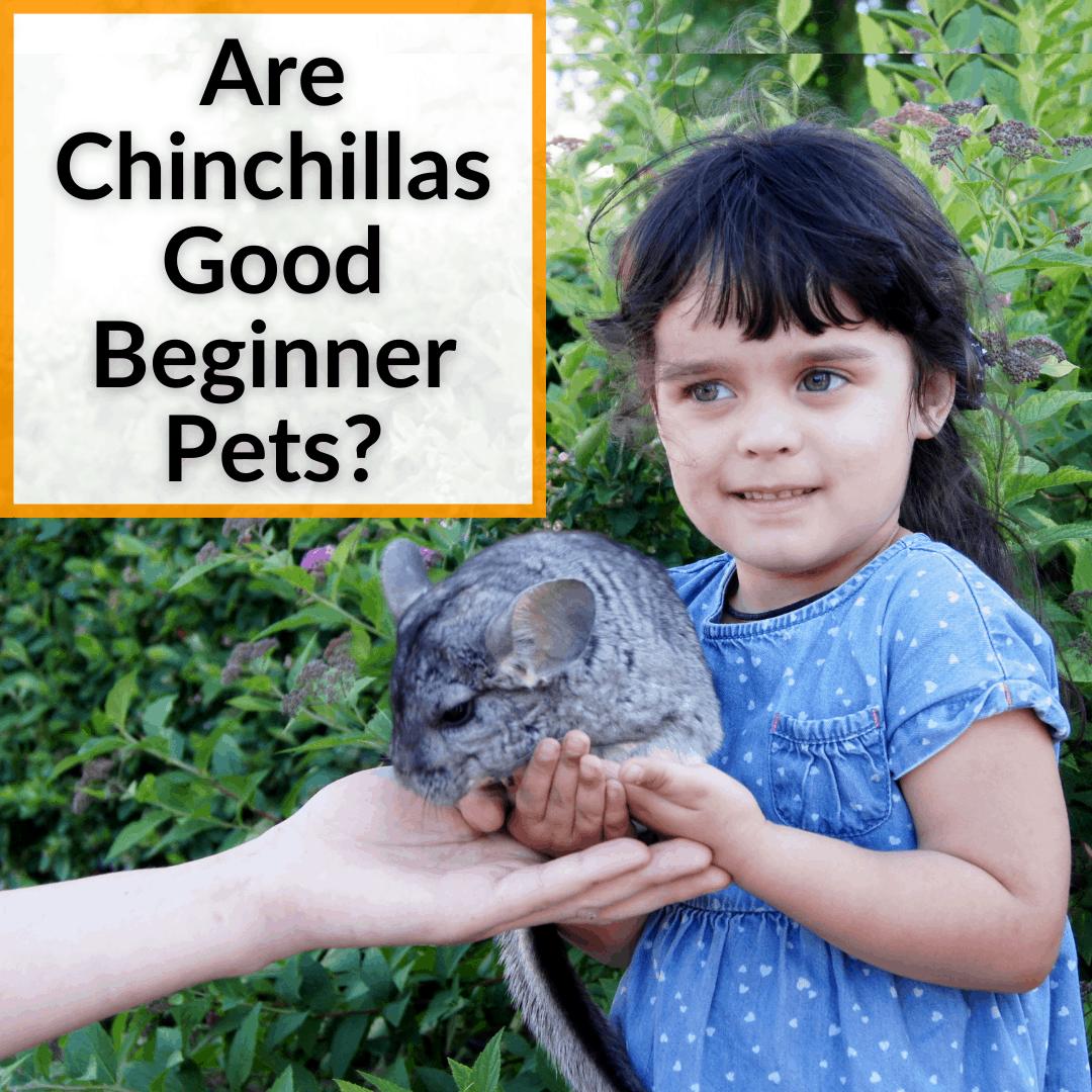 Are Chinchillas Good Beginner Pets
