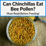 Can Chinchillas Eat Bee Pollen