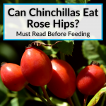 Can Chinchillas Eat Rose Hips