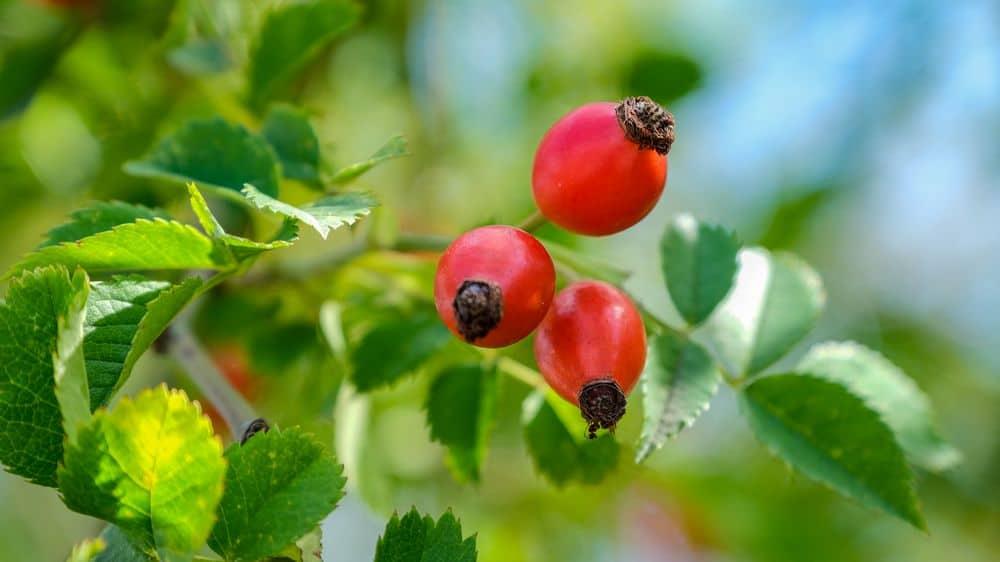 rose hips on branch