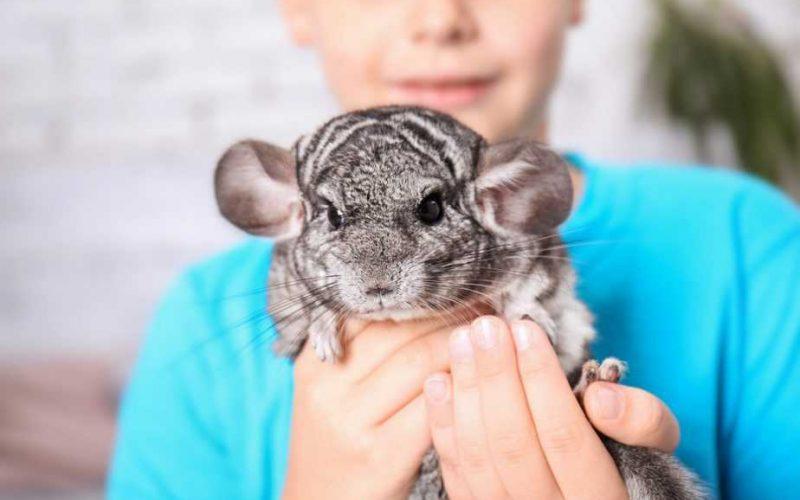 do-chinchillas-need-shots-vaccinations