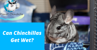 can-chinchillas-get-wet